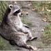 raccoon by lastrami_