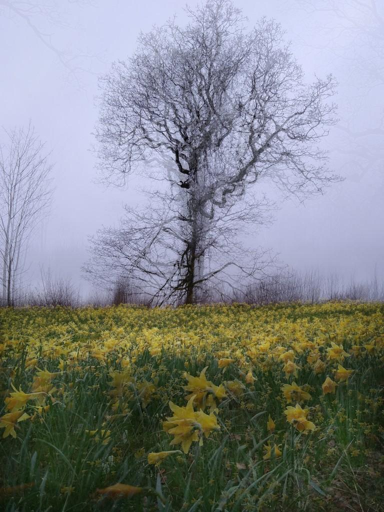 Wild English Daffodils by 30pics4jackiesdiamond