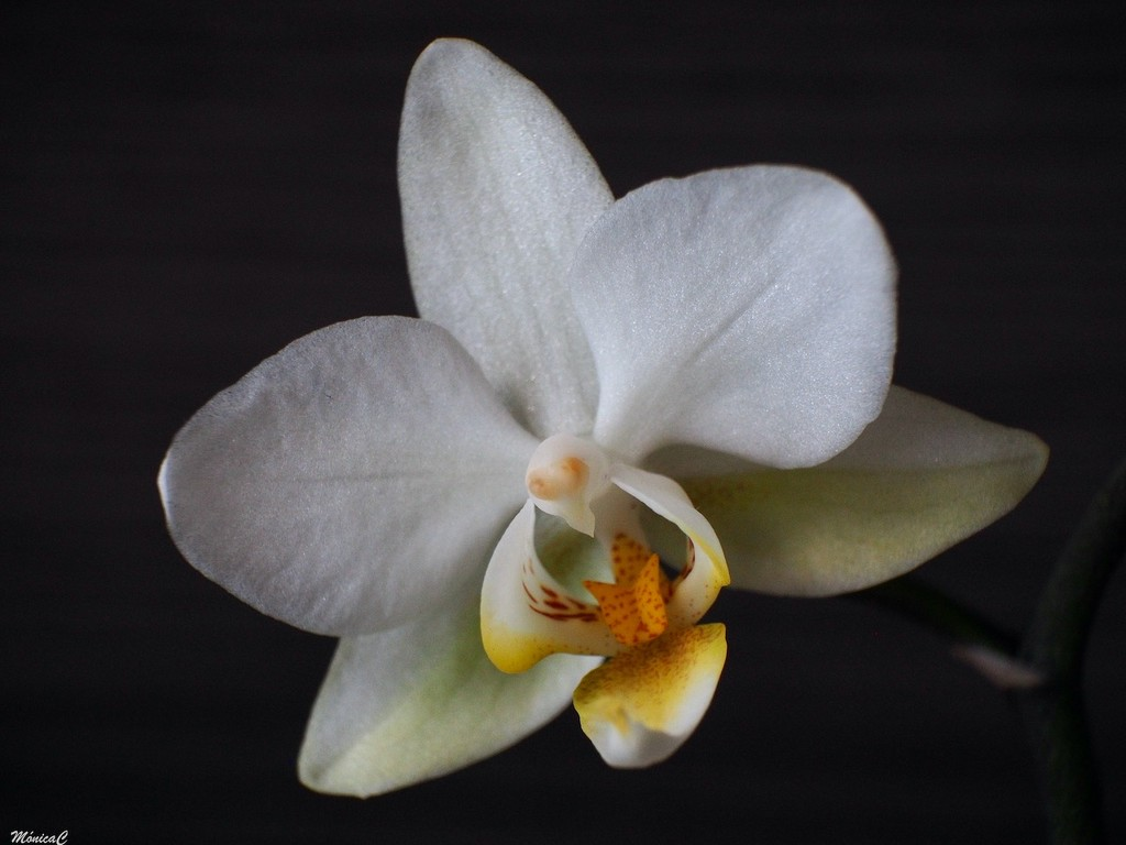 White orchid by monicac