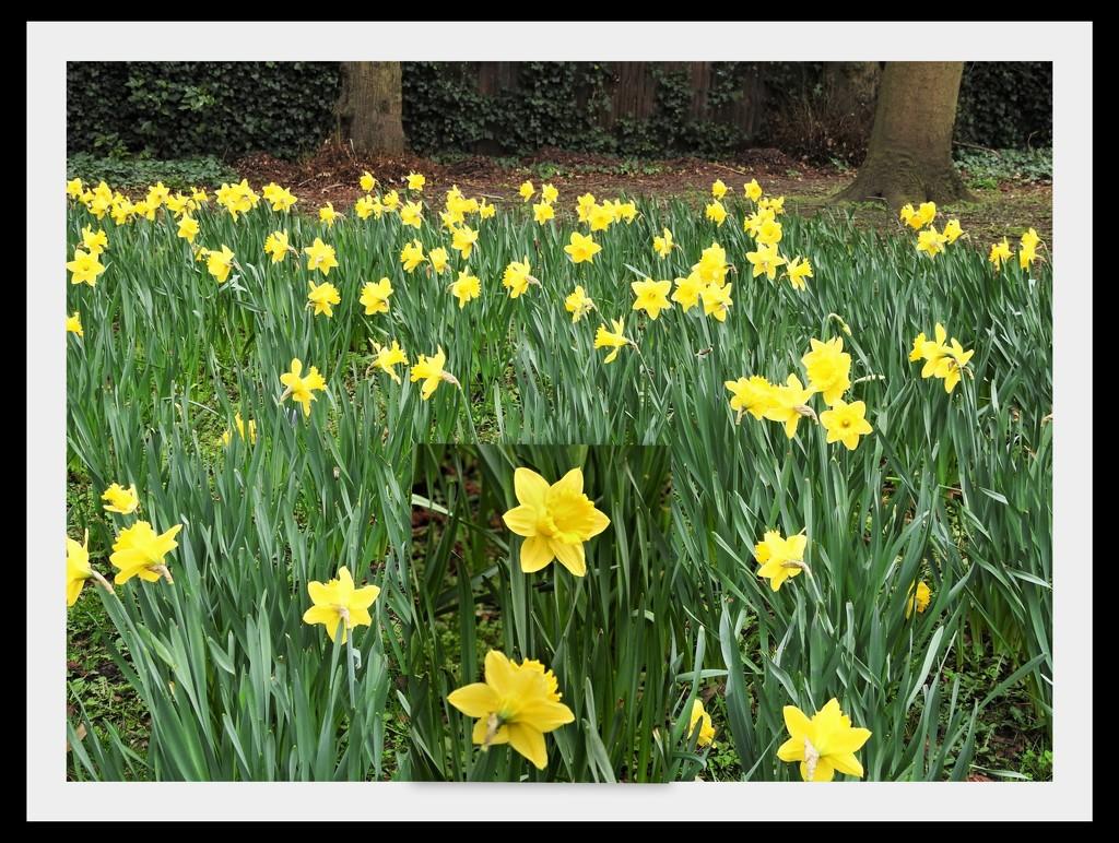 Daffodils by oldjosh