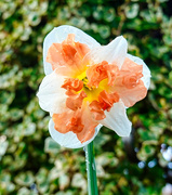 15th Mar 2020 - Daffodil