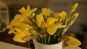 15th Mar 2020 - Daffodils!