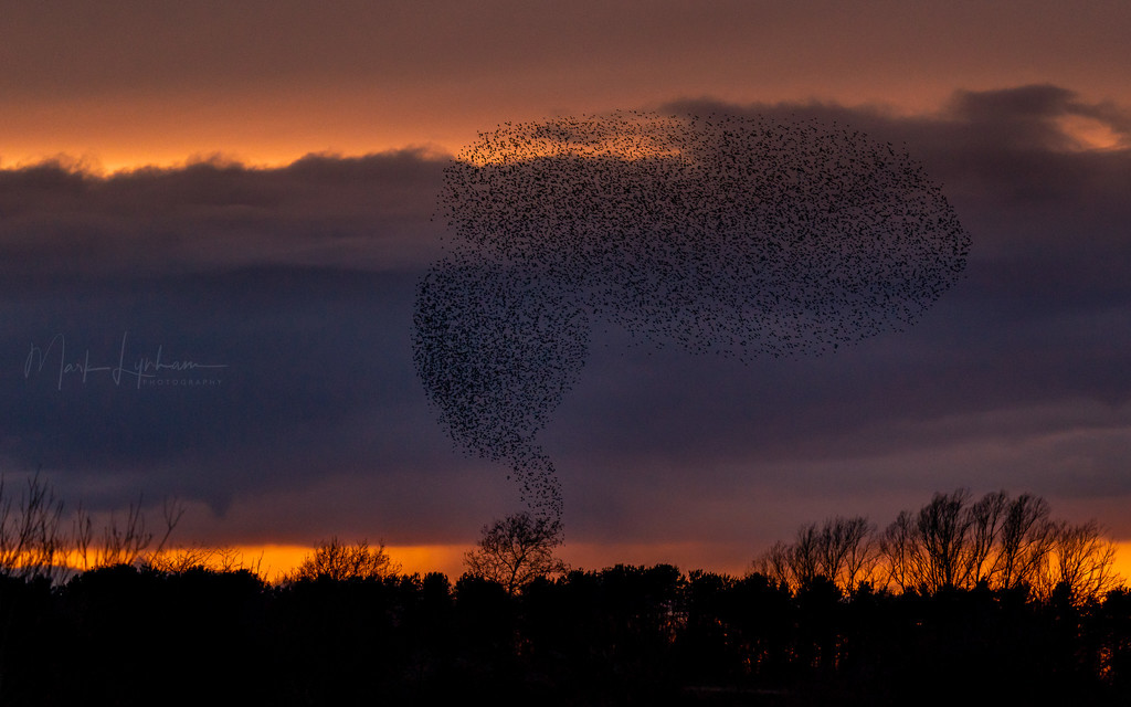 Murmuration.. by markyl