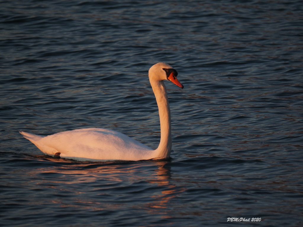Illuminated Swan by selkie