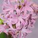 PINK hyacinth by homeschoolmom