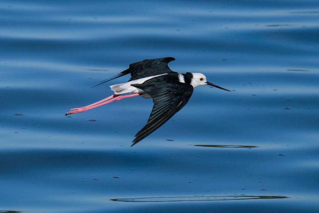 Pied stilt in flight by maureenpp