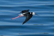 16th Mar 2020 - Pied stilt in flight