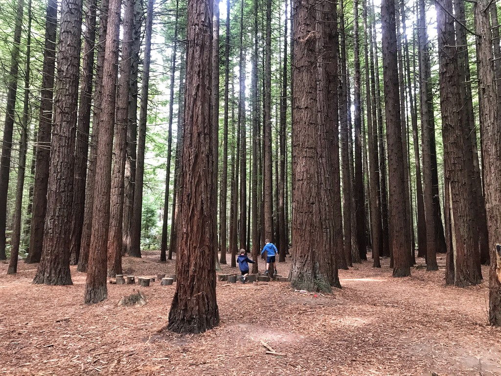 The Redwoods by happypat