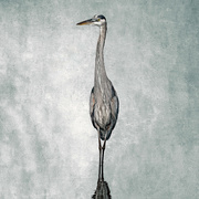 12th Mar 2020 - Great Blue Heron as Wildlife Art