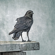 13th Mar 2020 - American Crow as Wildlife Art