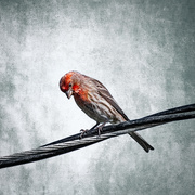 16th Mar 2020 - House Finch as Wildlife Art