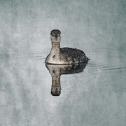 14th Mar 2020 - Horned Grebe as Wildlife Art