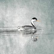 15th Mar 2020 - Clark's Grebe at Wildlife Art