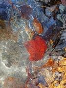 16th Mar 2020 - Maple Leaf Frozen