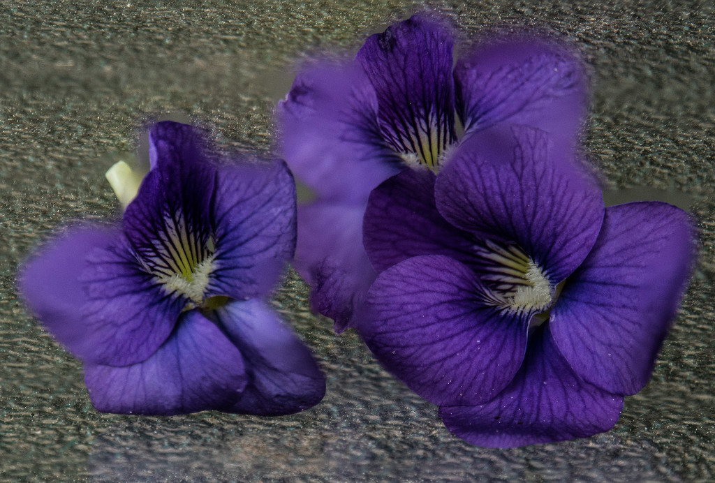 Violets by randystreat