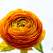 Orange Ranunkel by elisasaeter