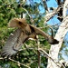 Is this a red shouldered hawk? by sailingmusic