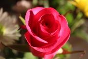 16th Mar 2020 - Red Rose