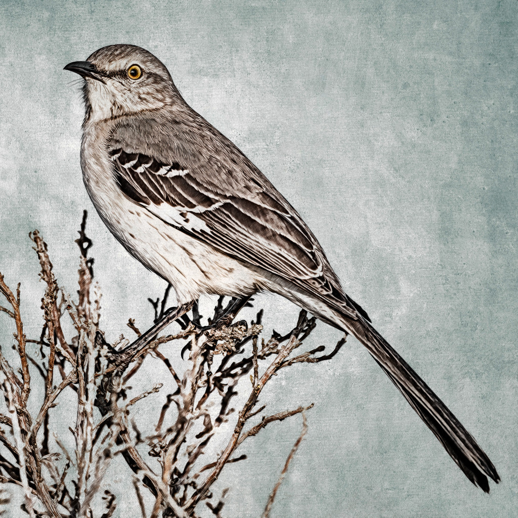 Northern Mockingbird by mikegifford