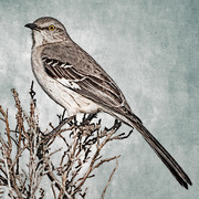 17th Mar 2020 - Northern Mockingbird