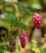 17th Mar 2020 - Flowering Currant