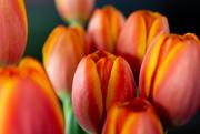17th Mar 2020 - Orange Tulips
