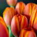 Orange Tulips by kwind