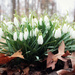 A Bouquet of Glowing Snowdrops just for YOU! by juliedduncan