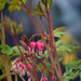 74-365 Bleeding Hearts