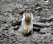 16th Mar 2020 - Squirrel