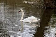 16th Mar 2020 - Swan