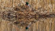 11th Mar 2020 - mallards nesting