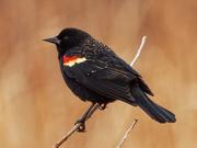 11th Mar 2020 - Red-winged blackbird