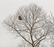 12th Mar 2020 - hawk by tree