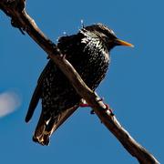 13th Mar 2020 - starling