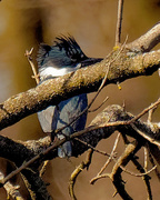 17th Mar 2020 - Belted kingfisher portrait