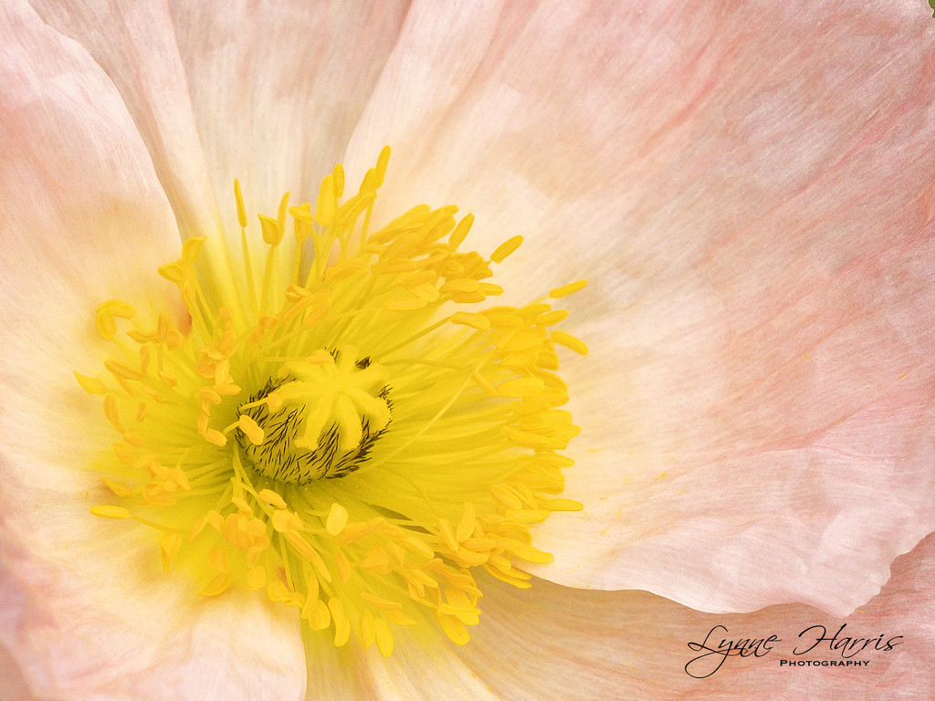 Poppy Center by lynne5477