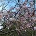 Crabapple blossoms!