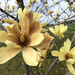 Yellow Bird Magnolia Tree by homeschoolmom