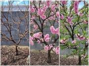 18th Mar 2020 - Nectarine