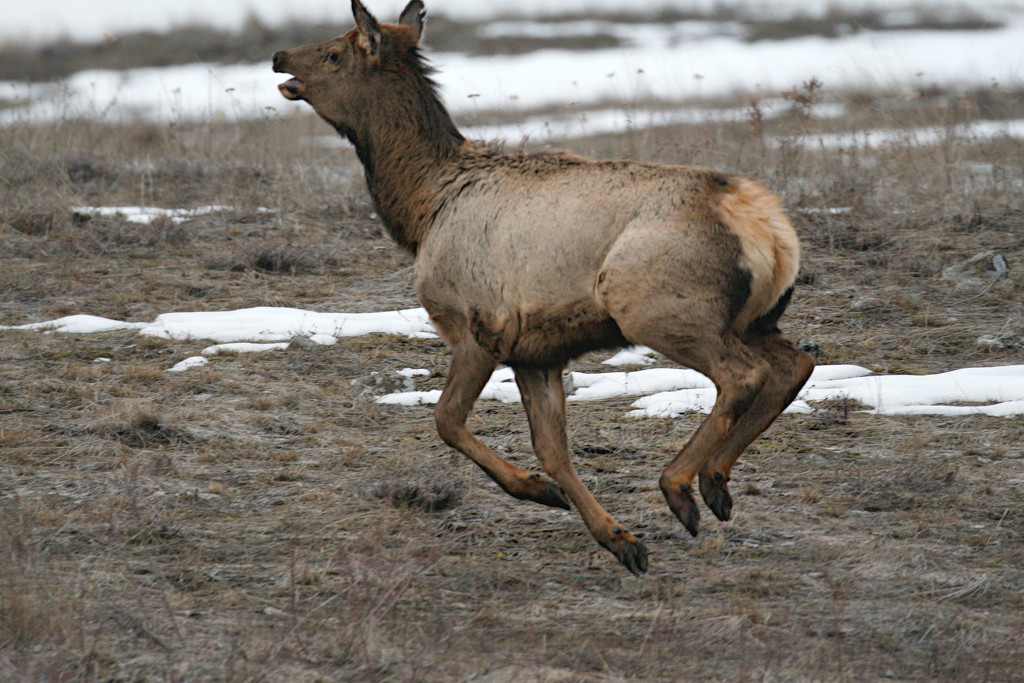 Young Elk by gq
