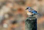 14th Mar 2020 - Bluebird