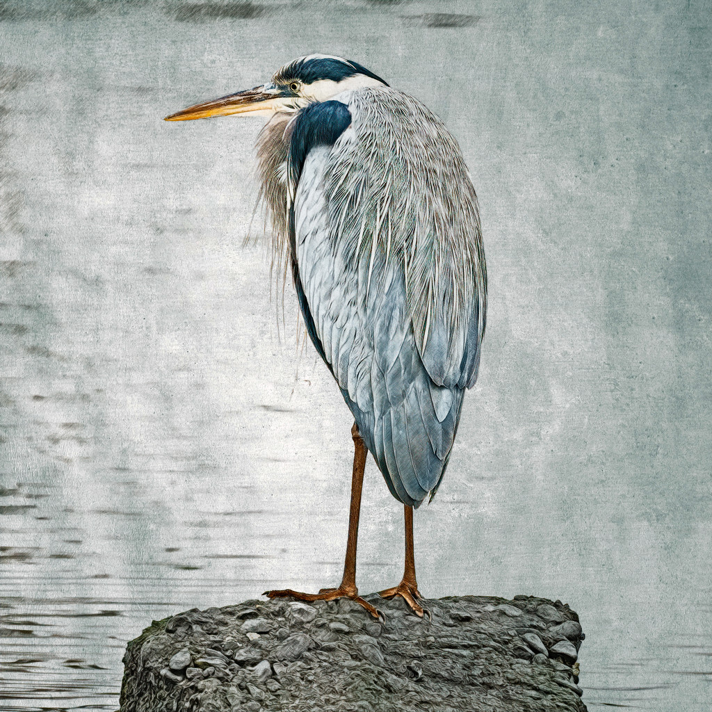 Great Blue Heron on a Rock by mikegifford