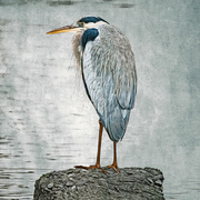 18th Mar 2020 - Great Blue Heron on a Rock