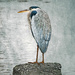 Great Blue Heron on a Rock