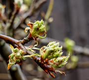 17th Mar 2020 - Pear Buds.