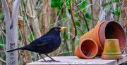 16th Mar 2020 - Blackbird