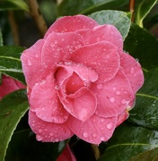 18th Mar 2020 - Nature's tears