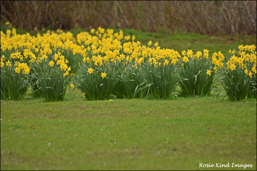 A host of golden daffodils by rosiekind