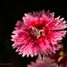 Dianthus #9